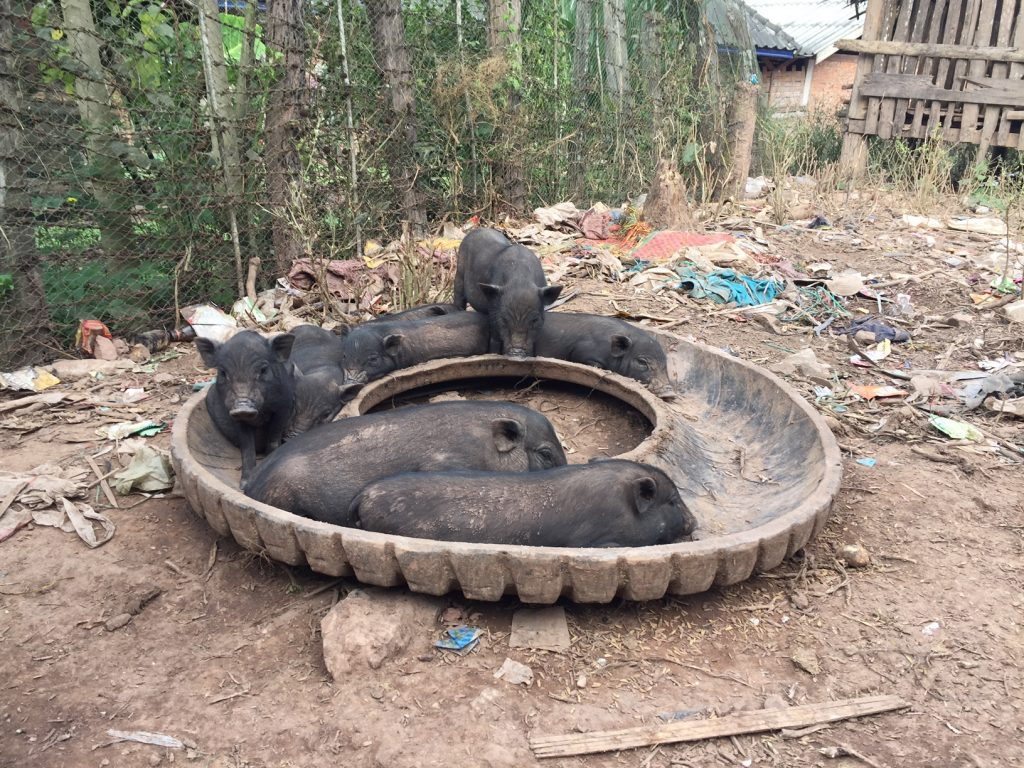 pigs in tyre