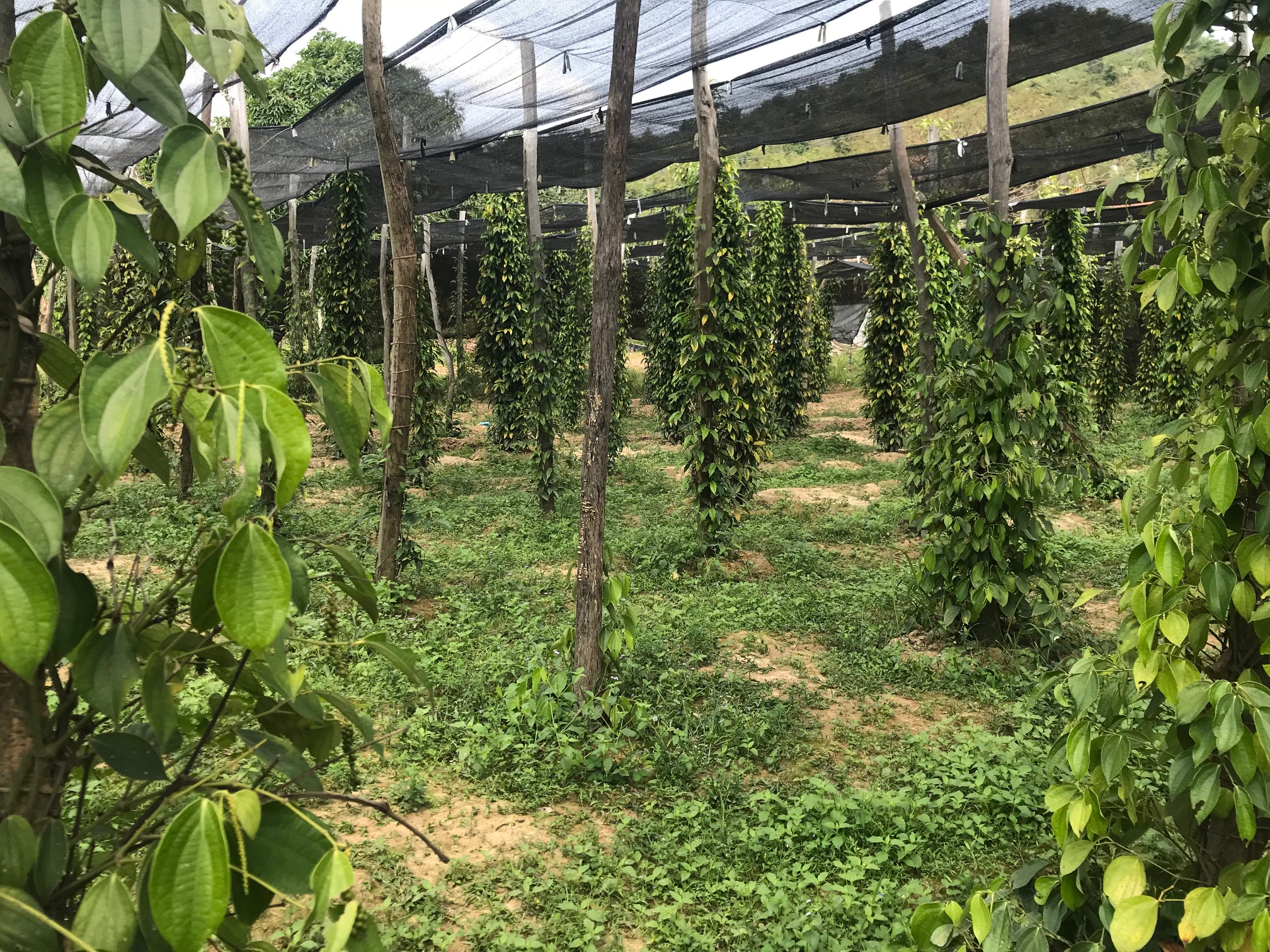 Pepper farm kampot