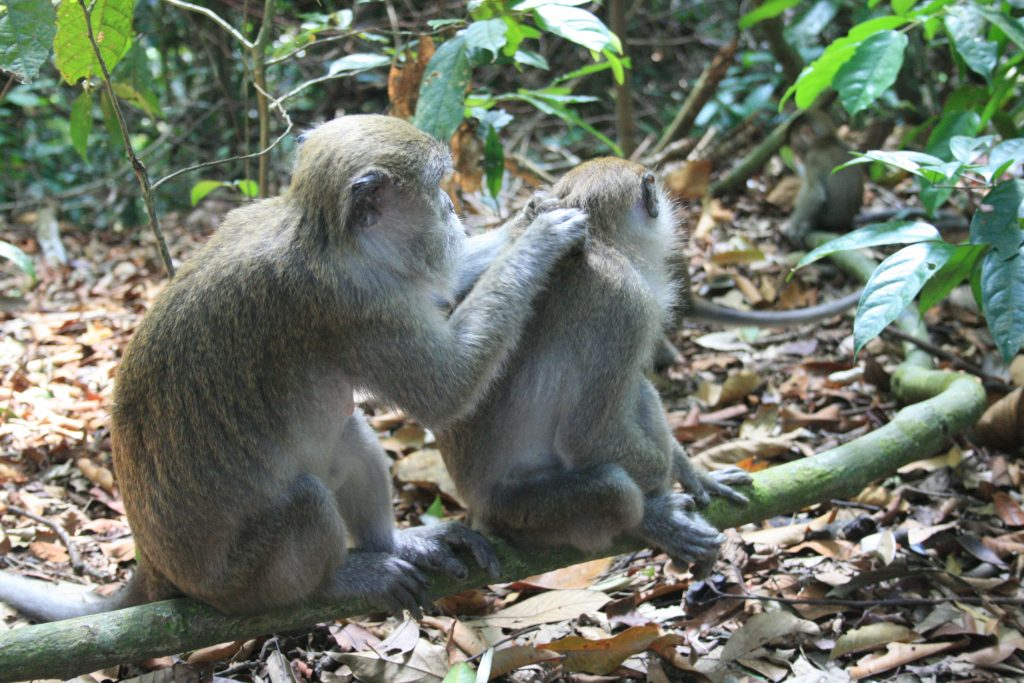 Macaques in Gunung Leuser National Park