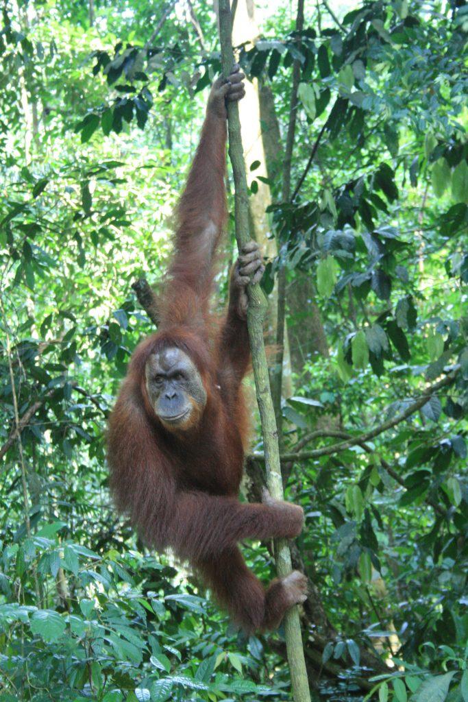 Mina Orangutan Bukit Lawang