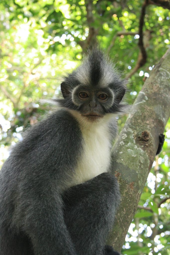 Thomas Leaf Monkey - Gunung Leuser National Park