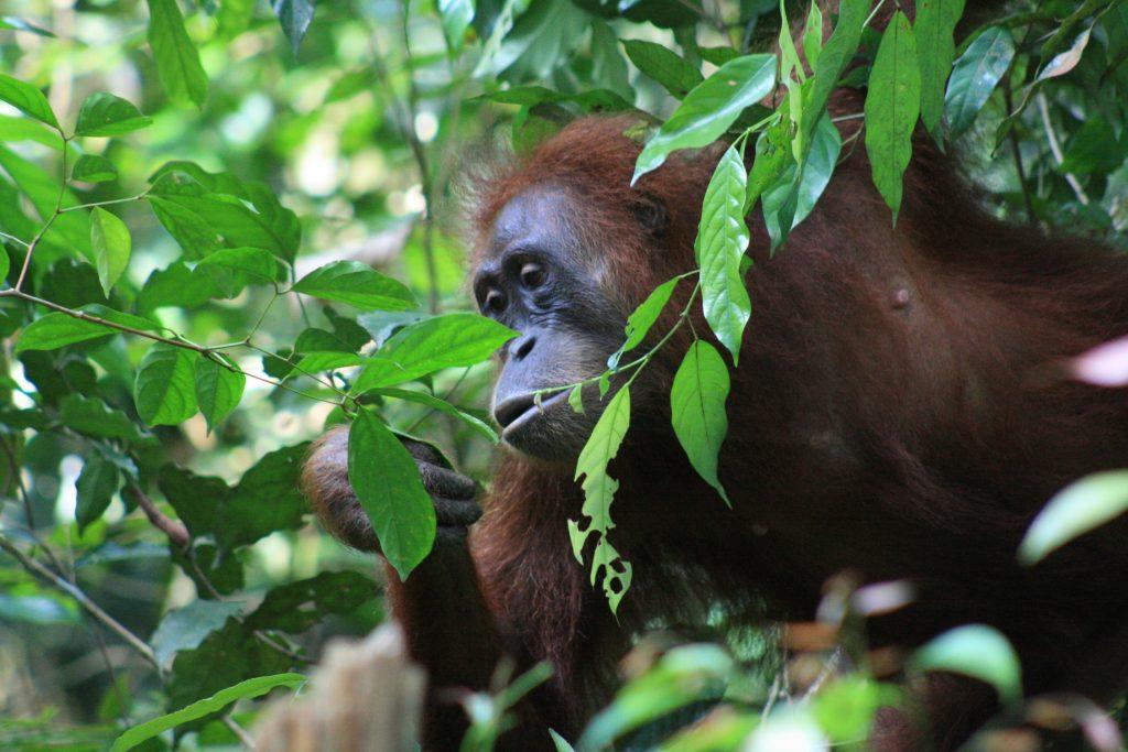 Bukit Lawang Sumatra Orangutan