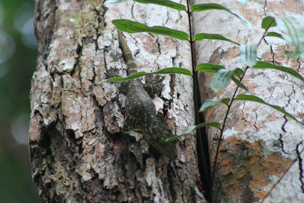 Noisey gecko