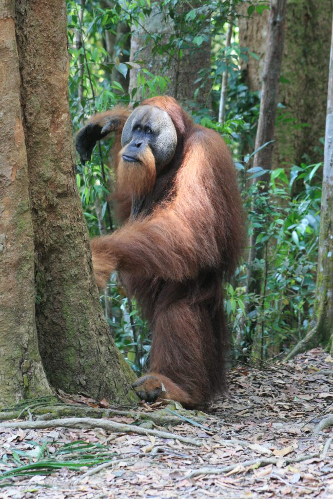 Gunung Leuser National Park Male Orangutan