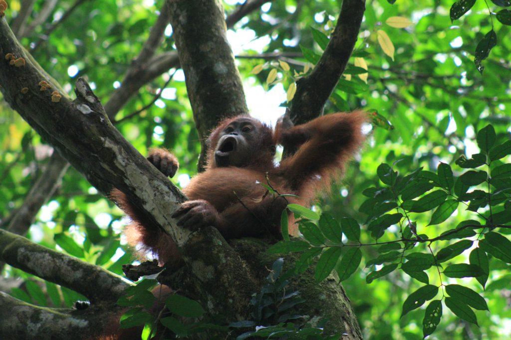 Yawning baby orangutan