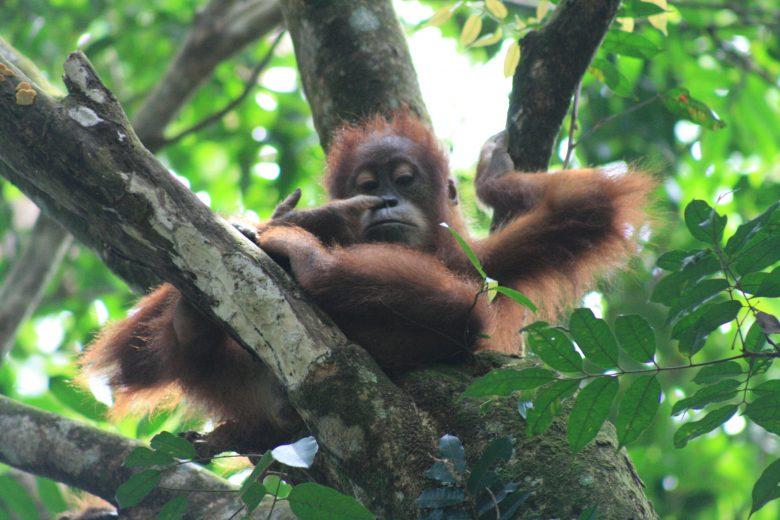 Nose picking baby orangutan