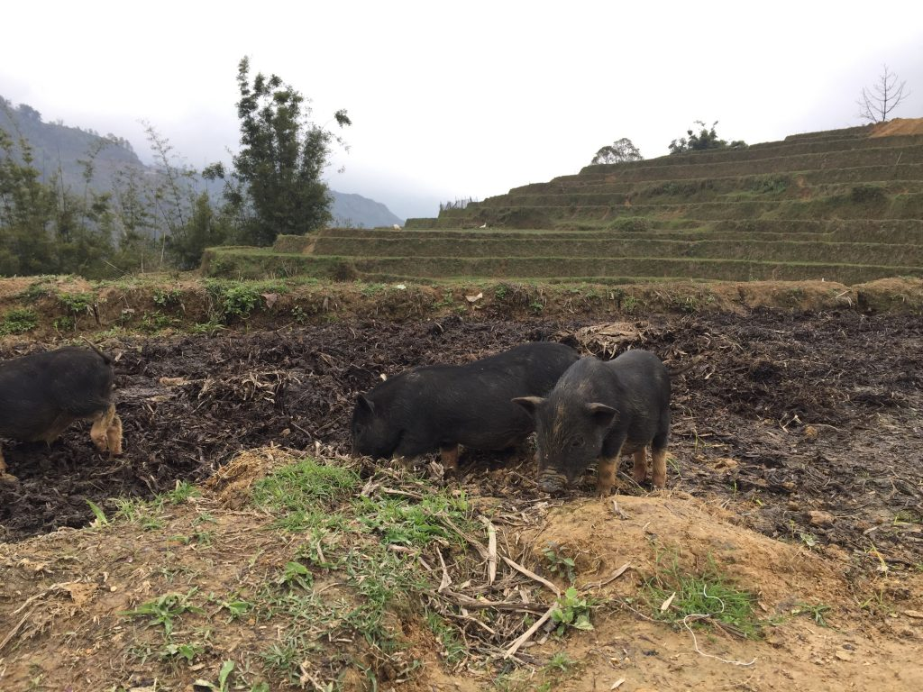 Piglets feeding in the rice paddies. Sapa, Vietnam.