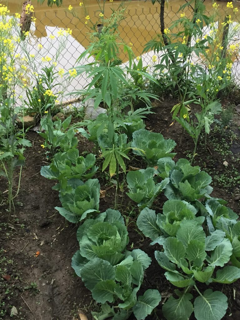 Giang's vegetable and 'herb' garden.